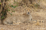 Another Lone Cheetah