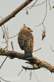 Eagle, Blyth's Hawk (juv)