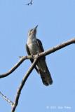 Cuckoo, Banded Bay @ Mandai