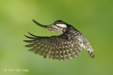 Woodpecker, Sunda Pygmy @ Buangkok