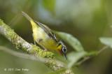Shrike-babbler, Black-eared (male) @ Cameron Highlands