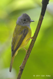 Flycatcher,Grey-headed Canary @ Cameron Highlands