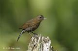 Robin, White-tailed (female) @ Cameron Highlands