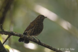 Robin, White-tailed (juv) @ Cameron Highlands