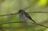 Flycatcher, Little Pied (juv) @ Cameron Highlands