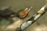 Babbler, Black-capped