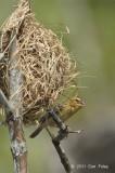 Weaver, Asian Golden (nest) @ Tampines Eco Green