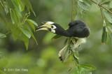 Hornbill, Oriental Pied (female) @ Pasir Ris