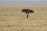 Acacia Tree with Cheetah