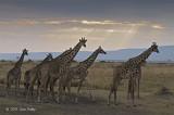 Giraffes near Sunset