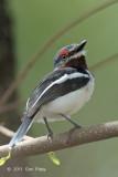 Wattle-eye, Brown-throated (female)
