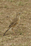 Pipit, African