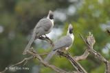 Go-Away-Bird, Bare-faced @ Fig Tree