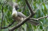 Go-Away-Bird, Bare-faced