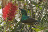 Sunbird, Collared (female)