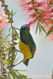 Sunbird, Collared (male)