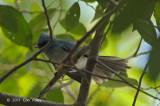 Flycatcher, African Blue