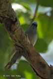 Flycatcher, African Blue @ Fig Tree