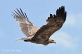 Eagle, Tawny (pale morph)