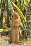 Mongoose, Dwarf