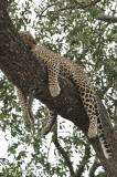 Leopard (young male)