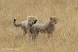 Cheetah & two cubs