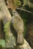 Bubul, Olive-winged