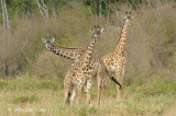 Giraffe, Maasai