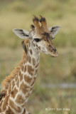 Giraffe, Maasai (juvenile)