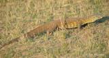 Lizard, Nile Monitor