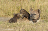 Hyena, Spotted (cubs)