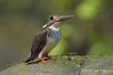 Kingfisher, Blue-banded (male)
