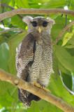 Owl, Barred Eagle (juvenile)