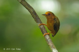 Piculet, Rufous (female)