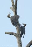 Woodpecker, Great Slaty