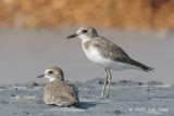 Plover, Greater Sand @ Pontian