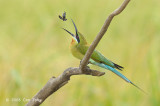 Bee-eater, Blue-tailed @ Sungei Balang