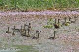 Duck, Lesser Whistling @ Batu Gajah