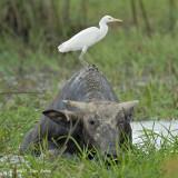 Egret, Cattle @ Batu Gajah