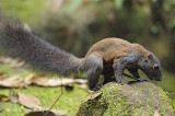 Squirrel, Horse-tailed