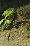Black-headed Collared Snake