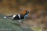 Forktail, Chestnut-naped (female)