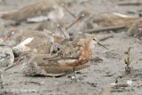Sandpiper, Curlew @ Sungei Buloh