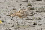 Godwit, Bar-tailed @ Sungei Buloh