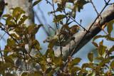 Flowerpecker, Plain
