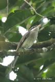 Woodshrike, Large (female)