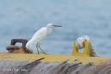 Egret, Pacific Reef (white morph) @ Pulau Bukom