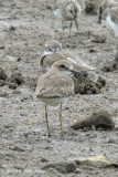Plover, Greater Sand @ Sungei Buloh