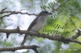 Whistler, Mangrove