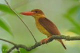 Kingfisher, Ruddy (juv) @ Bidadari